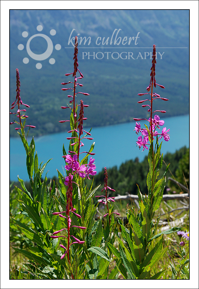 Fireweed and Chilko Lake